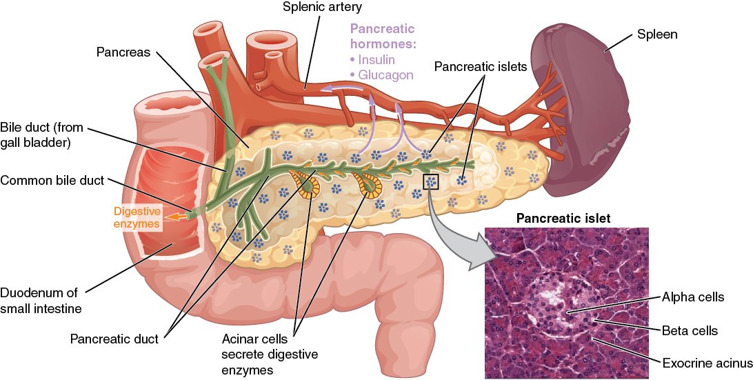 The Pancreas 7 Steps To Health And The Big Diabetes Lie